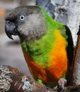 Senegal parrot, Senegal bird