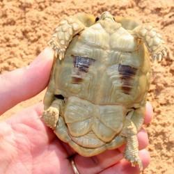 tortoise plastron
