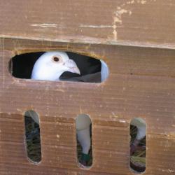 pigeon in box James Brunskill