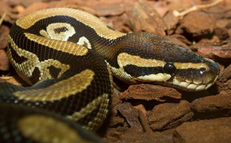 Basic Information Sheet Boas And Pythons Lafebervet