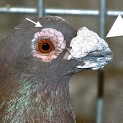 ragoon pigeon with a large beak wattle (large arrow).