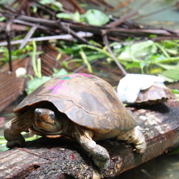 Crisis de la tortuga de estanque filipina lafebervet for Estanque de tortugas