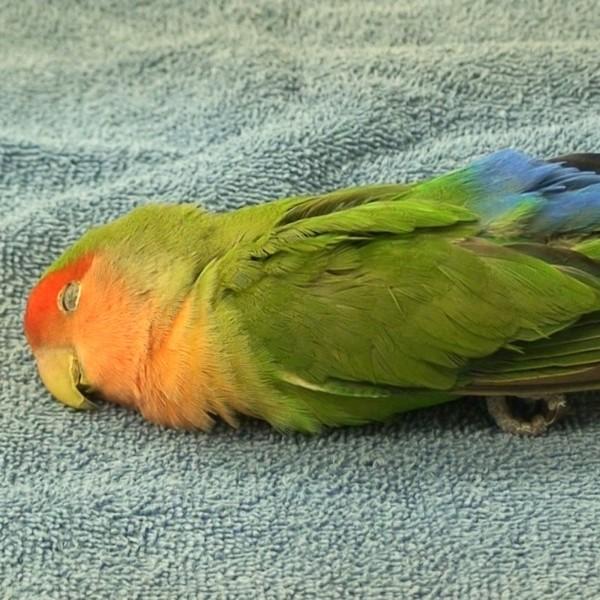 diagnosing and treating avian neurologic disease lafebervet