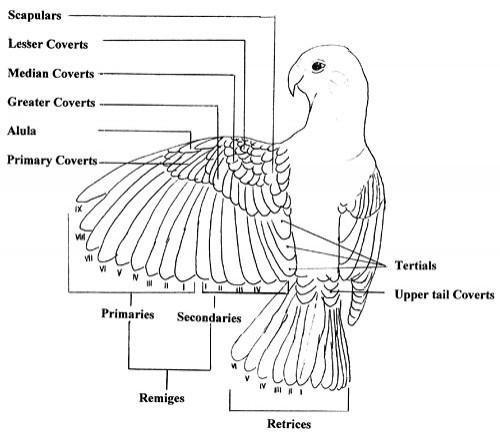 avian anatomy diagrams
