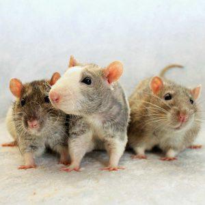 three rats posed on fabric
