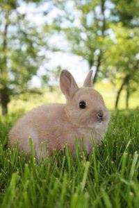 Netherland Dwarf rabbit sitting on grass