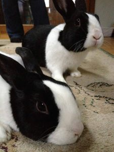 two Dutch rabbits