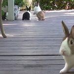 Dutch rabbits on porch