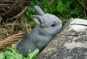 Netherland Dwarf rabbit exploring outdoors