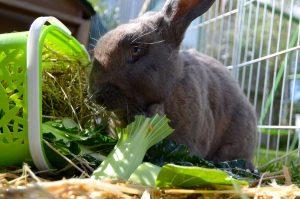 Flemish Giant rabbit eating
