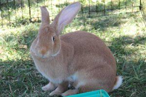Conejo gigante flamenco sentado en la hierba
