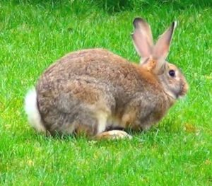 two Flemish Giant rabbits sitting on grass outside