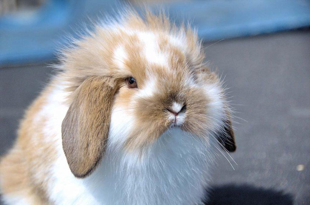 Flemish lop rabbit portrait