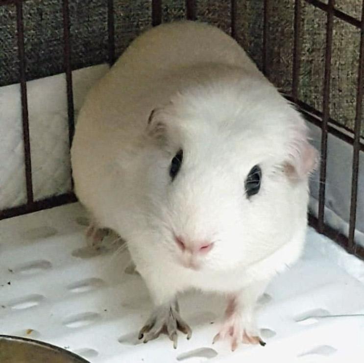 guinea pig in cage corner