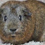 guinea pig standing