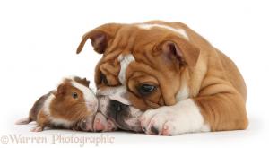 posed guinea pig and bulldog