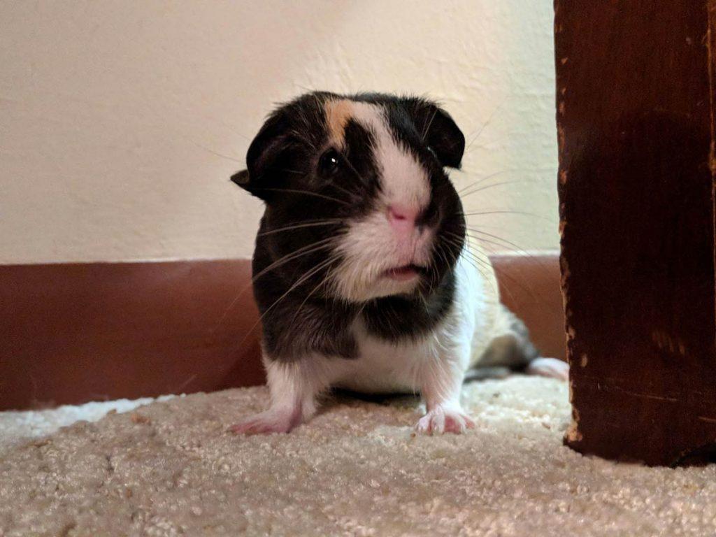 guinea pig standing on carpet