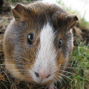 guinea pig face