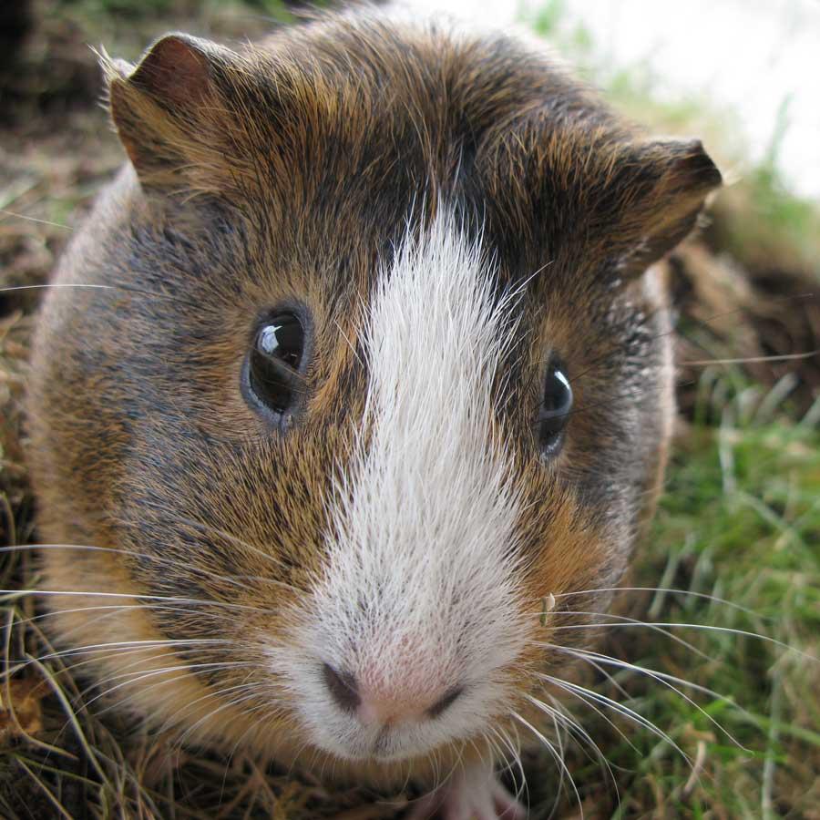 Do Guinea Pigs Make Good Pets Lafeber Co Small Mammals