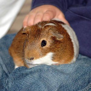 guinea pig on lap being petted