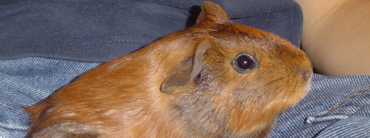 guinea pig on lap