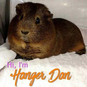 guinea pig named Hanger Dan