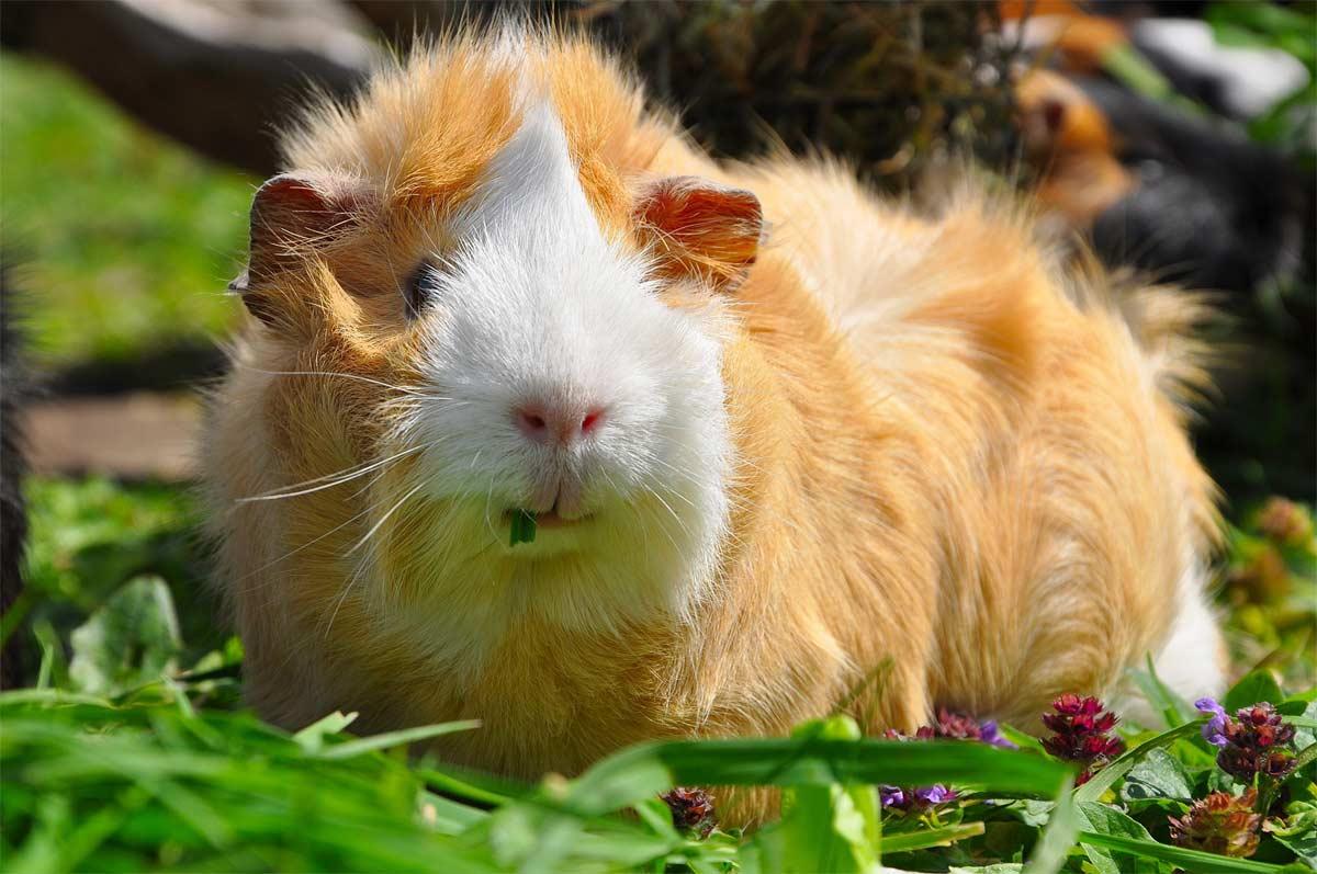 guinea pig outside eating