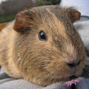 brown guinea pig looking at camera