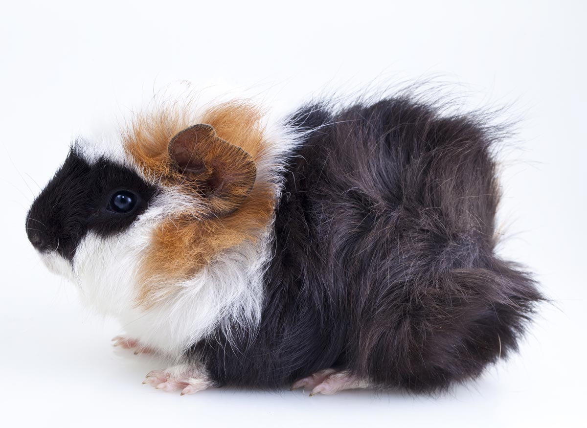 black, white and orange guinea pig with fur rosettes