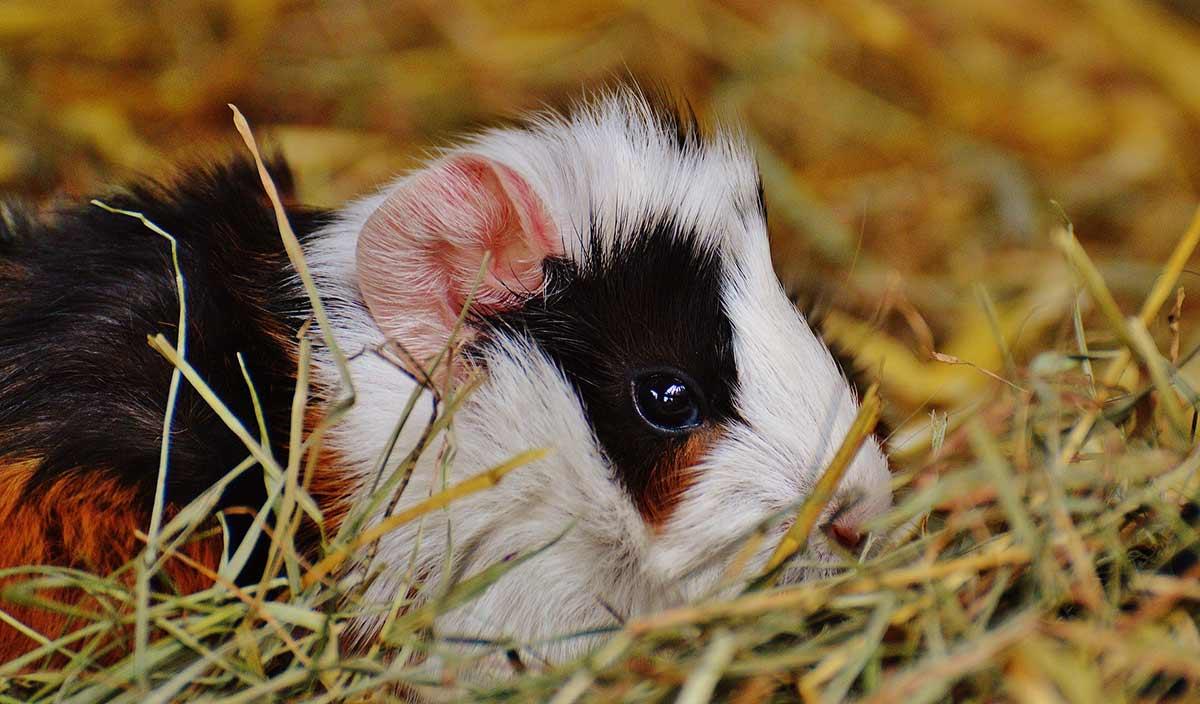 guinea pig sitting on hay