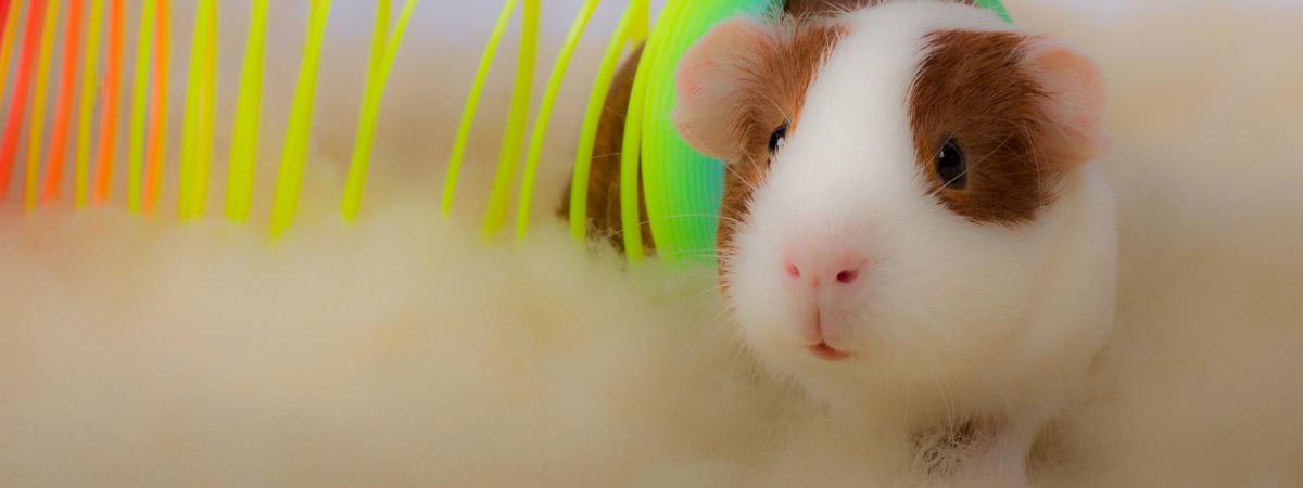 guinea pig crawling through plastic slinky