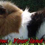 guinea pig outside on grass
