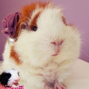 guinea pig faces