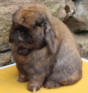 Holland Lop Rabbit Breed Lafeber Co Small Mammals