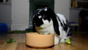 Mini Lop by food bowl