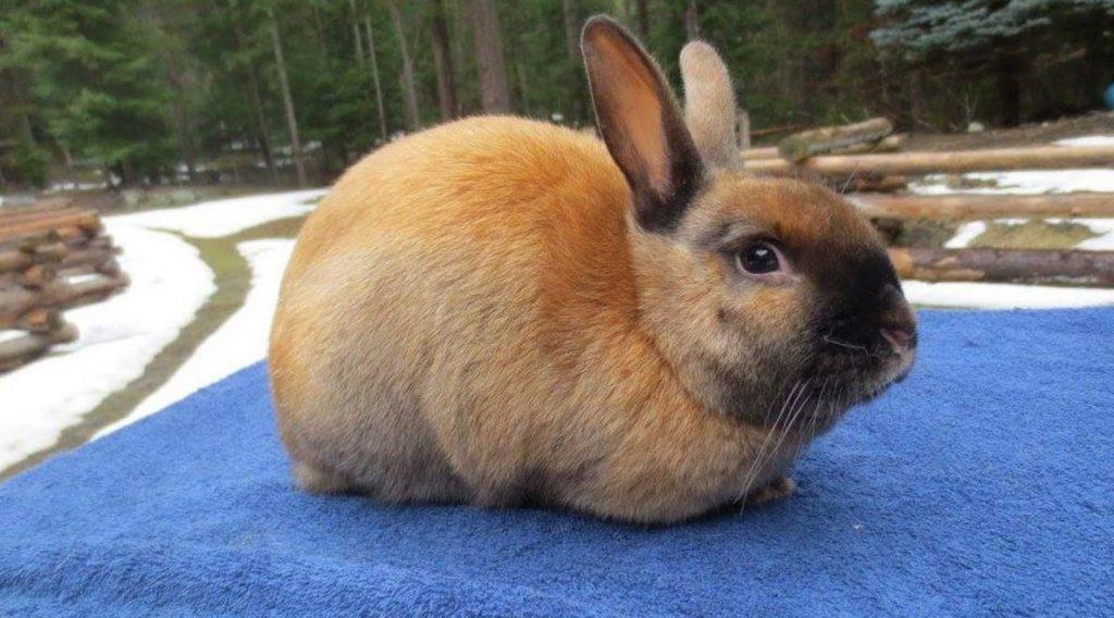 Mini Satin rabbit