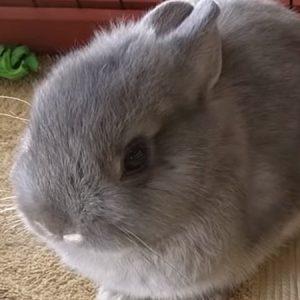 Netherland Dwarf rabbit in cage