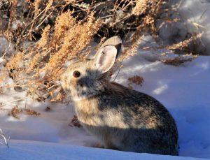 pygmy rabbit, Brachylagus idahoensis