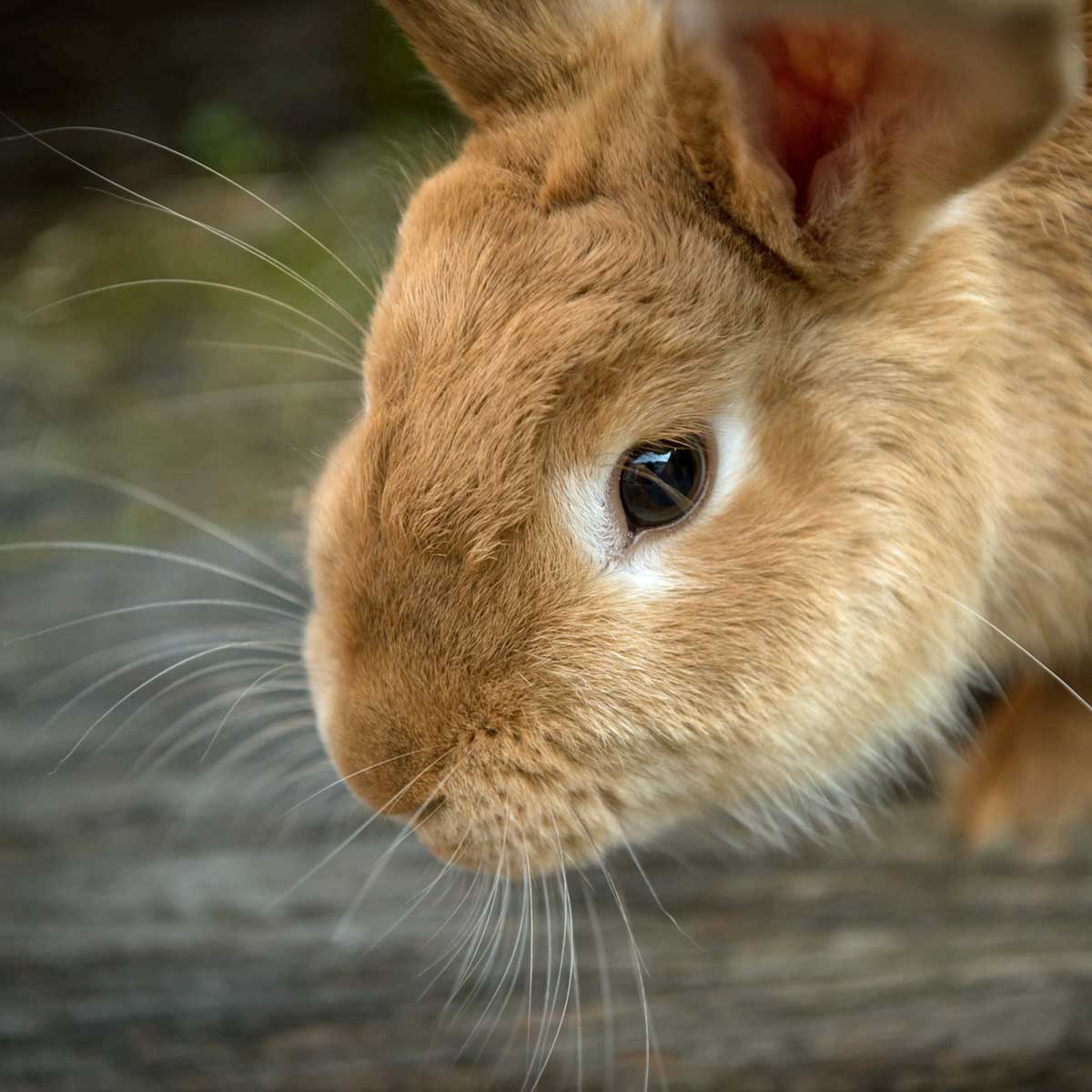 Rabbit Eye Problems And Treatments   Lafeber Co.   Small Mammals