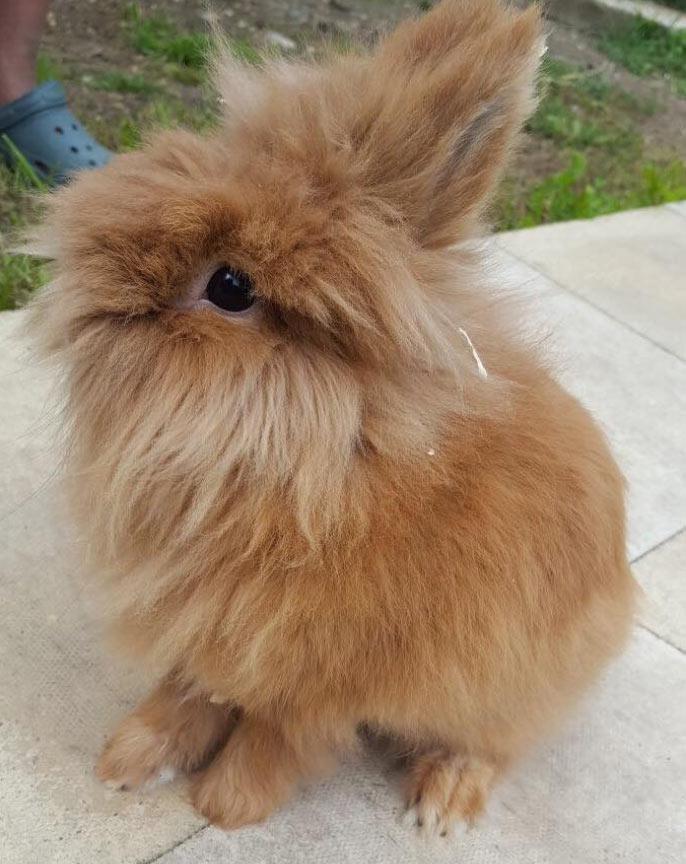 brown rabbit outside