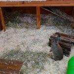 indoor rabbit habitat with open door cage, toys, tunnel, hideaway
