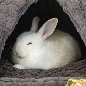 rabbit snoozing in hideaway