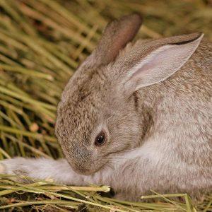 brown rabbit grooming