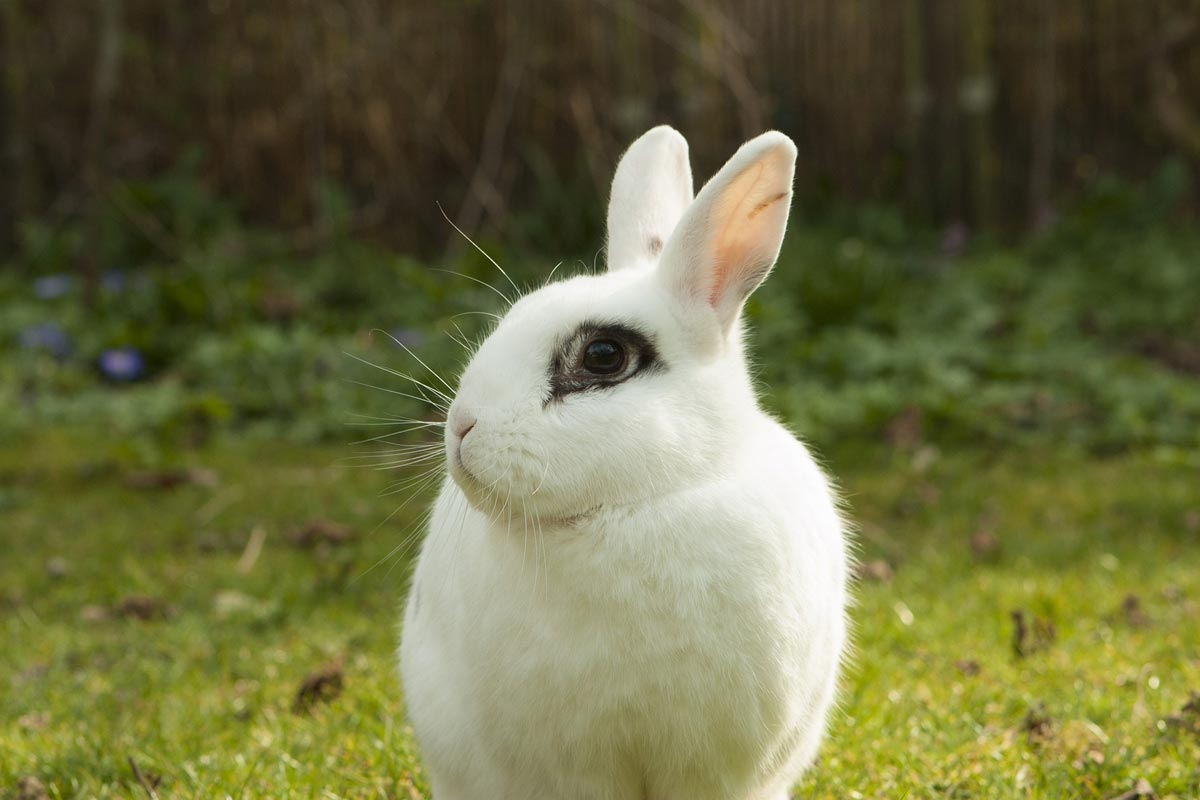 white rabbit with black markings around eye