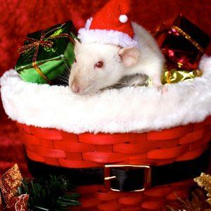 rat wearing Santa hat sitting in Santa basket