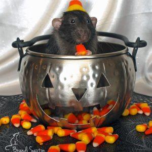 rat wearing hat and sitting in metal pumpkin cauldron