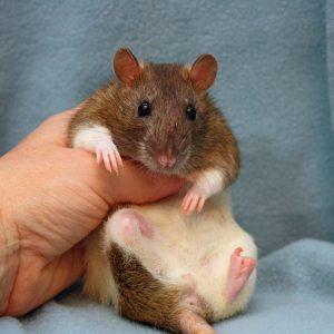 rat held in hand