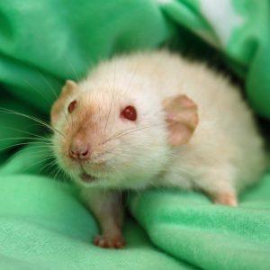 white rat in blanket