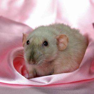 rat on pink fabric