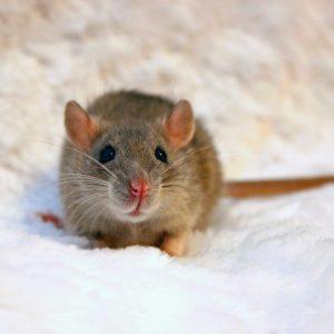 rat sitting on fabric looking at camera